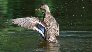 Kuvaiti turistáktól rettegnek az osztrák kacsák
