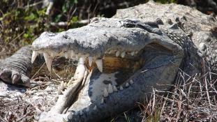 Egyre jobban támadnak a krokodilok