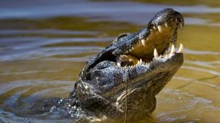 Krokodil támadt egy ötéves fiúra Costa Ricán, anyja mentette meg