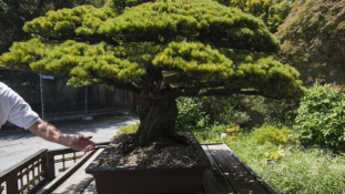 A 390 éves bonsai túlélte a hirosimai atomtámadást
