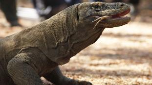 Hatméteres óriásgyíkokkal éltek együtt Ausztrália őslakói