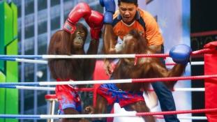 Brutális: orángutánok püfölik egymást a ringben