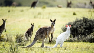 Halálraítélt albínó kenguruk Ausztráliában