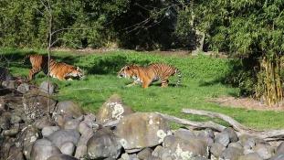 Izraeli tigris gyilkolt Új-Zélandon