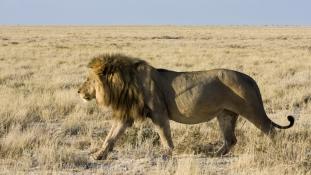 Nagyon fogynak Afrikában az oroszlánok