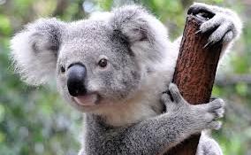 A kis koala gondolt egyet, és megölelte az őt filmező operatőrt (videóval)