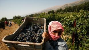 A világ legveszélyesebb bora – szüret Szíriában