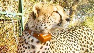 Lelőtték Botswana egyik híres gepárdját