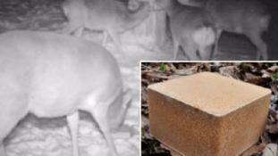 Így kezelik a sínimádó szarvasokat Japánban