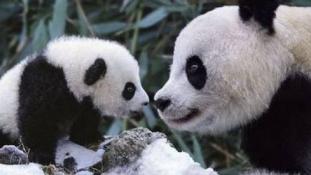 Megfejtették a pandák nyelvét a tudósok