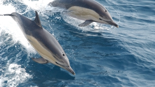 Ismét öngyilkosok lettek a delfinek