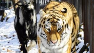 Összebarátkozott ebédjével a szibériai tigris (videóval)