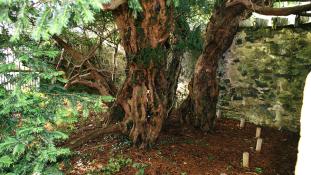 Tényleg nemet vált Európa legöregebb fája?