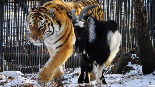 Megeszi-e a szibériai tigris a kecskét? Kérjük a téteket!
