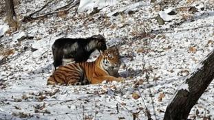 Nemcsak Amur és Timur: szokatlan barátságok az állatvilágban