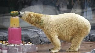 Tudja, melyik jegesmedvének van ma a szülinapja?