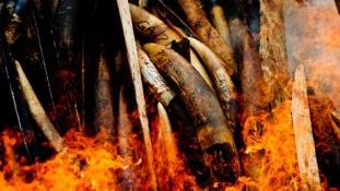 Sorost is meghívták a nagy  elefántcsont-égetésre