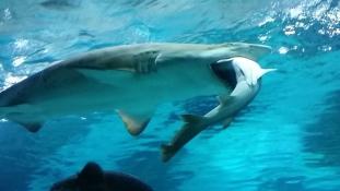 Így falja fel a nőstény cápa a hímet
