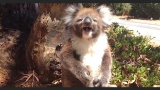 Elüldözték a fáról, teljesen kiakadt a koala