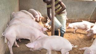 Kitört a sertéspestis Ugandában