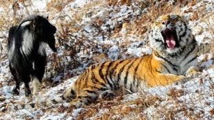 Lehet-e egy kecske a tigris homoszexuális szeretője?