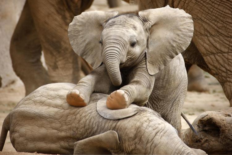young_elephants