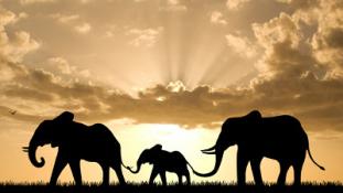 Szváziföldi elefántokkal töltik fel az amerikai állatkerteket