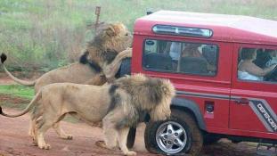 Rémálom a szafarin – oroszlánok ostromolták a terepjárót
