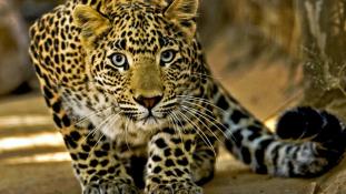 Megszökött a vérengző leopárd