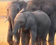 Az elefántok védelmében elesett brit pilótát méltatják Tanzániában