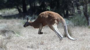 Szándékosan gázolhattak halálra 17 kengurut Ausztráliában