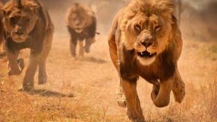 Vérszomjas oroszlánok garázdálkodnak Nairobiban