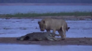 Így eszi meg az oroszlán a krokodilt  (videó)