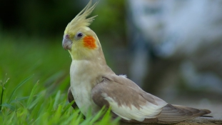 Csak beszélgetni akart – ellopta a szomszéd  papagáját
