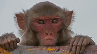 Majmokkal védekezik az orosz hadügyminisztérium