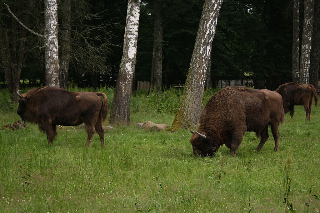 Bölények a Białowieżai Nemzeti Parkban (Wikipedia)