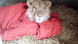 Cukiság a köbön – csak takaróval hajlandó aludni az oroszlán