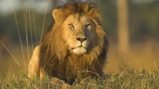 Az utcán támadt emberre egy oroszlán Kenya fővárosában