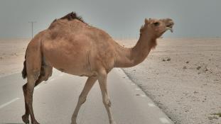 Kóbor teve ölt meg egy családot Szaúd-Arábiában