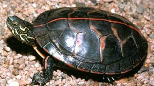 Börtönbe kerülhet, pedig csak tanulni akart a teknőscsempész