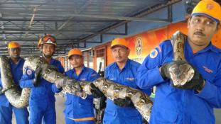 Ez lehet a világ leghosszabb kígyója