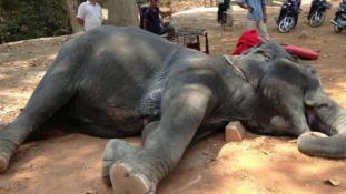 Csökkentik az elefántok munkaidejét Kambodzsában