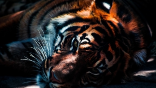 Állatkertben gyilkolt egy tigris