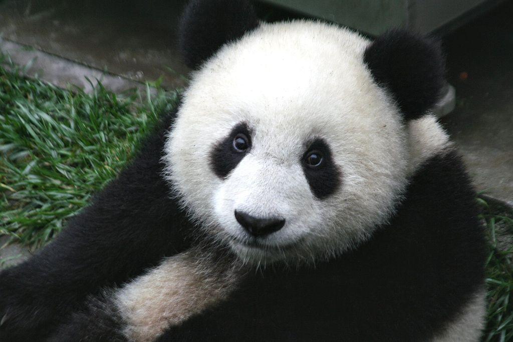 1024px-Panda_Cub_from_Wolong,_Sichuan,_China