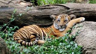 Gyógyszernek fagyasztják le a tigriskölyköket