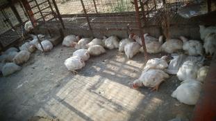 Pelenkában dolgoztatják a munkásokat a csirkefeldolgozóban
