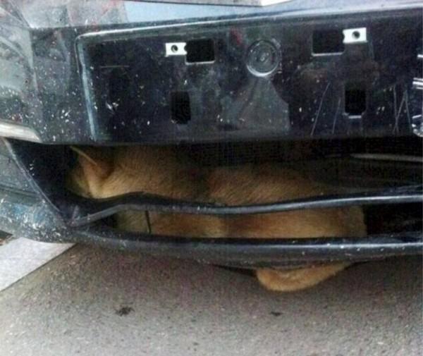 Dog-Stuck-in-Bumper