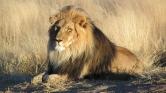 Repülővel mentették ki az oroszlánokat a földi pokolból