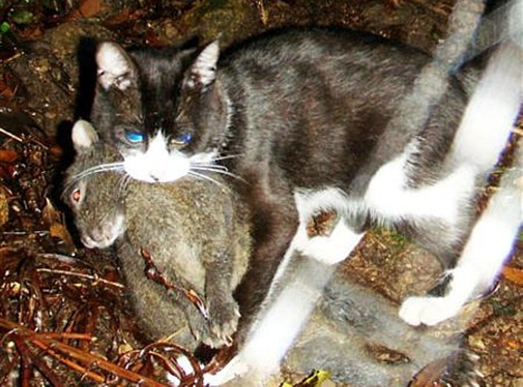 amami-rabbit-killed-by-cat