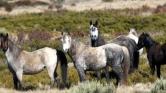 Egy legenda vége: nem kell a brumby-ló Ausztráliának